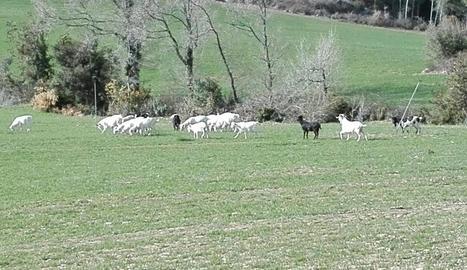 Imatge d'arxiu d'unes cabres assilvestrades a l'Alt Urgell.