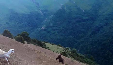 Imatge de l'ós i el ramat d'ovelles a la fuga a Montanui.