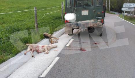 Vista dels animals abatuts al costat de la carretera el passat mes de maig a Sarroca de Bellera.