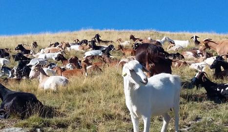 Ramat de cabres al municipi de la Vall de Cardós.