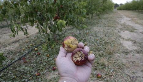 La pedregada de divendres va deixar zones amb el 100% de dany a la fruita