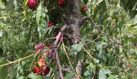 Nectarines destrossades per efecte de la tempesta de granís del passat dia 20 a Alcarràs.