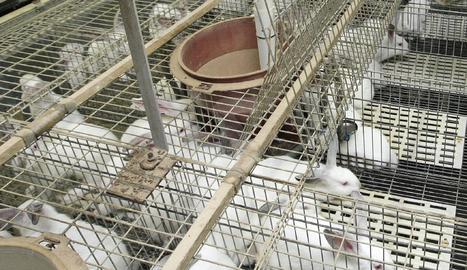 Imatge d'arxiu d'una granja de conills
