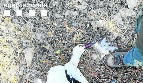 Una de les cigonyes mortes.