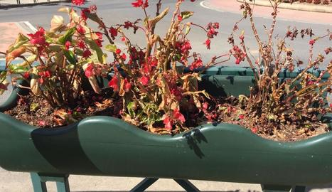 Flors mortes en una de les jardineres on l'ajuntament ha detectat amoníac.