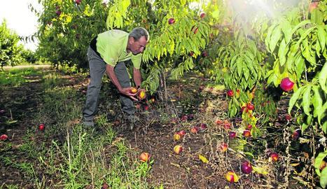 Un agricultor a Torres de Segre revisa els fruits caiguts i els efectes després de la tempesta ahir.