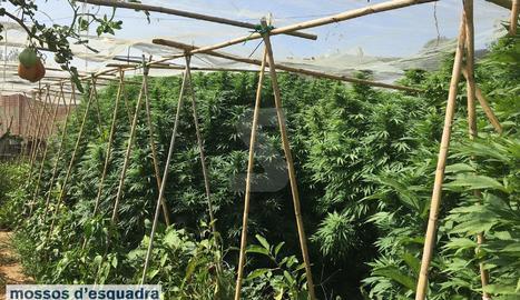 Imatges de les plantes de marihuana