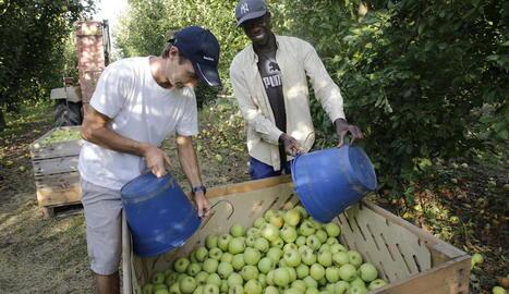 Dos empleats de la campanya treballaven en la recol·lecció, ahir a Torre-serona.