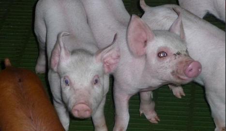 Imatge d'una granja de porcs de les comarques de Lleida.