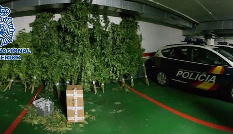 Vista de les plantes de marihuana intervingudes a la finca ramadera de Mollerussa dimecres passat, 19 de setembre.