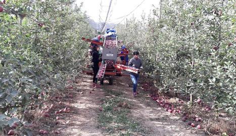 Operaris de la collita de la poma presentada ahir per Fruits de Ponent.