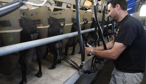 Munyiment de cabres a les instal·lacions de Cal Quitèria a Almacelles, ahir.