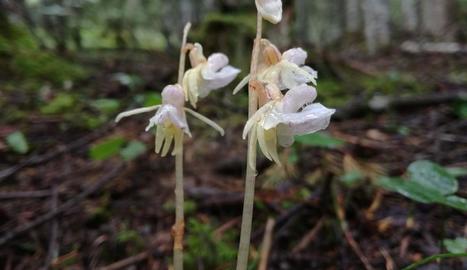 Imatge de l'orquídia detectada a la vall de Santa Magdalena.