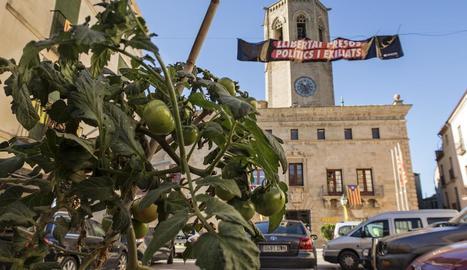 Imatge en primer pla de la tomatera i, al fons, la Paeria de Cervera i Santa Maria.
