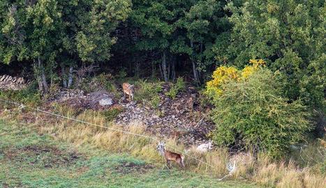 El cérvol amb els fils d'una finca de ramaderia extensiva enredats a les banyes.