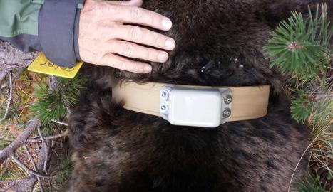 Aconsegueixen canviar el collar de seguiment de l'ós Goiat