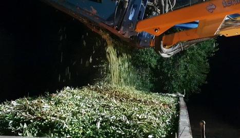 Oli centenari - Els productors de la Cooperativa Agrícola de l'Albi recullen les olives a la nit a fi d'elaborar un oli especial de més qualitat amb què celebrar el centenari de la institució, l'abril de l'any que ve.