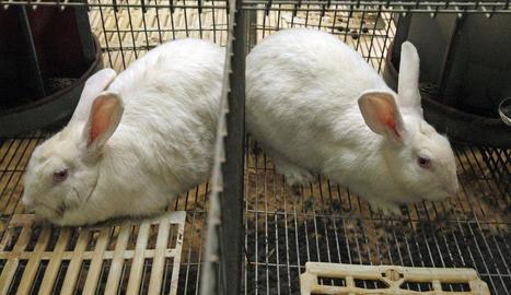 Imatge d'arxiu d'una granja de conills de Lleida.