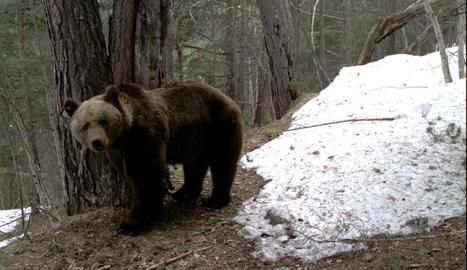 Intentaran modificar el comportament de l'ós Goiat amb mesures aversives
