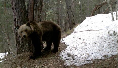 Imatge d'arxiu de l'ós Goiat, que aquest any ha protagonitzat més de quaranta atacs a bestiar.
