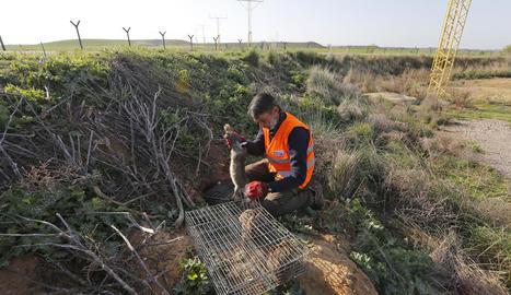 Imatge d'arxiu de les gàbies que es van instal·lar a l'aeroport d'Alguaire per capturar conills.