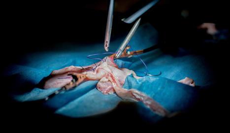 laboratori. No tota la recerca és en quiròfan. Marcelino Bermúdez fa recerca sobre patologies vasculars a l'IRB.