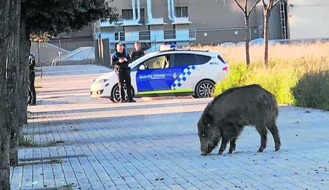 Els Agents Rurals abaten un senglar a la ciutat de Lleida