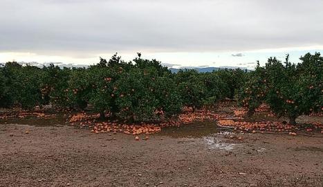 Imatge d'arxiu de tarongers amb els fruits per terra.