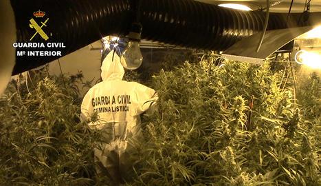 La Guàrdia Civil va localitzar 869 plantes de marihuana en un immoble d'Almacelles.