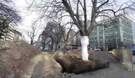 Un dels arbres que seran trasplantats demà de la plaça Ramon Berenguer a davant de l'estació.