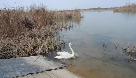 El cigne, entrant a les aigües de l'estany.