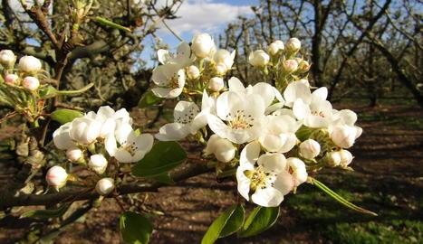 Floració en pereres de les varietats ercolini i blanquilla