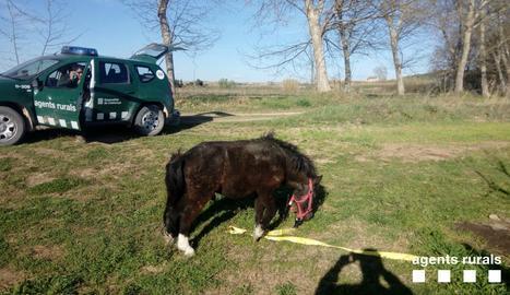 Recuperen un poni perdut a Juneda
