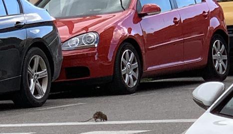 Una rata passejant pel carrer Narcís Monturiol.