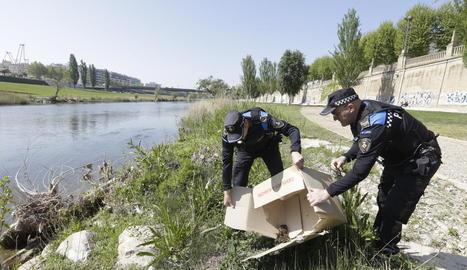 Agents de la Urbana van traslladar l'ànega i les cries fins a la canalització del riu Segre.