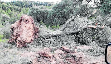 Una olivera caiguda al camí d'Almatret.
