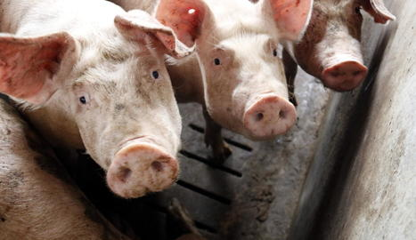 Imatge de porcs presa en una de les granges de la localitat d'Alcarràs.