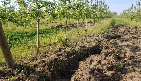 Un cultiu de l'Horta amb un solc fet pels senglars.
