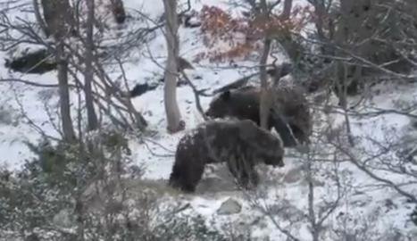 El projecte PirosLife, ha publicat un vídeo on es veuen dos ossos de dos o tres anys, germans, que juguen després de la hivernació.