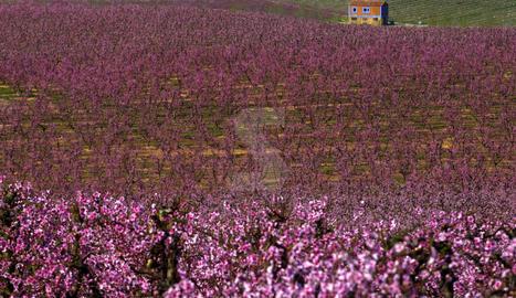 Arbres fruiters florits a Serós en una imatge d'arxiu.