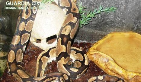 Una de les serps pitó reial intervingudes a Torres de Segre.