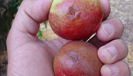 Nectarines afectades per la pedregada d'aquest dijous al Baix Segre.