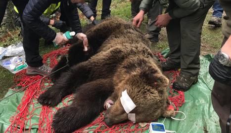 La captura de l'ós a Vielha diumenge i la petjada, de la qual es va fer un motlle.