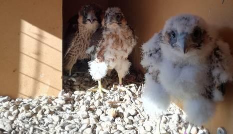 Els tres pollets de falcó peregrins que s'han introduït a Balaguer.