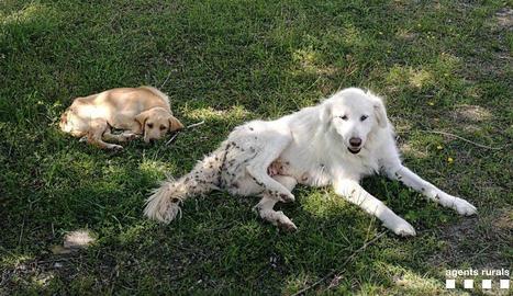Localitzen dos gossos abandonats al Jussà