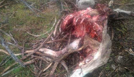 Un ós mata una ovella al Pallars Sobirà