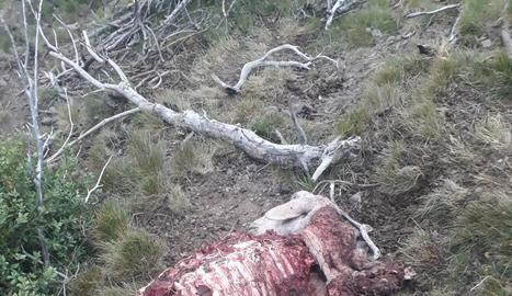 L'ovella morta per l'atac de l'ós a Castanesa.