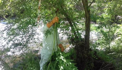 Un dels operaris que retiraven ahir les plantes foranes.