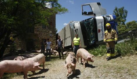 Diverses persones, entre elles bombers, intenten conduir els porcs a un altre camió després de bolcar.