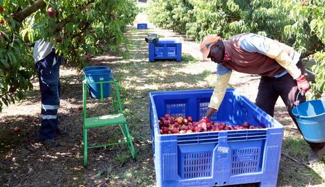 Imatge de temporers treballant en una finca de fruita de pinyol a Alcarràs.